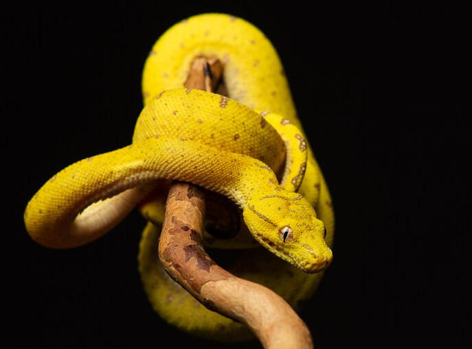 夢占い 蛇 黄色