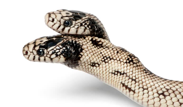 夢占い 蛇 双頭