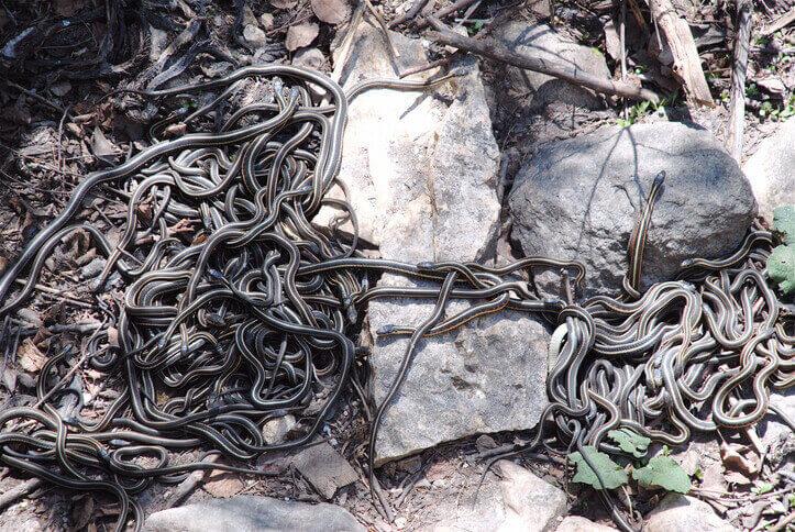 夢占い 蛇 大量