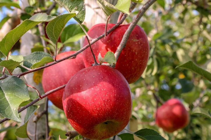 青森 イタコ りんご