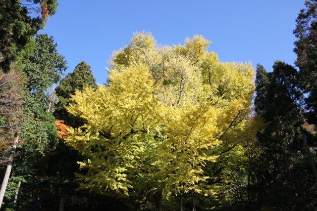 菩提寺のイチョウ 岡山 パワースポット